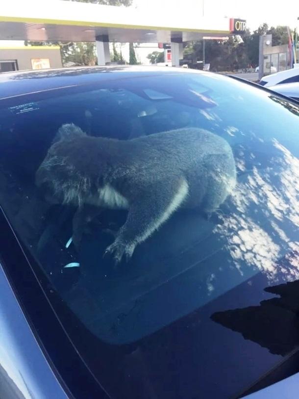 В Австралии коала