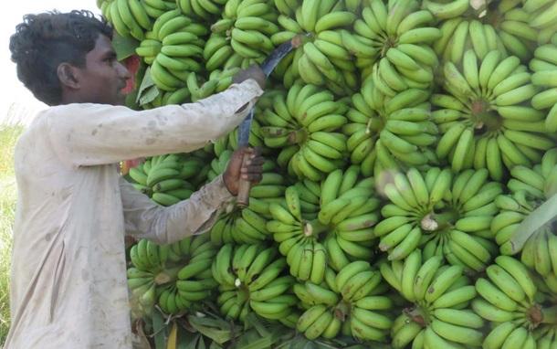 Мир без бананов. Угроза самому популярному фрукту 1